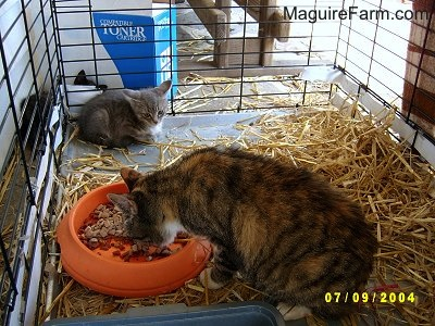 A view inside of a dog crate lined with hay with an adult calico cat eating dry cat food out of an orange food dish and a tiny gray kitten in the corner.