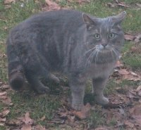 A Grey tabby is standing in a yard that is riddled with leaves and looking forward. The cat looks wide-eyed adn scared.