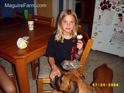 A blonde girl sitting at a wooden kitchen table eating ice cream with a little gray kitten on her lap and a boxer dog in front of her.