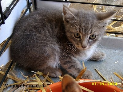 A little light gray tiger cat inside of a dog crate with hay around it. There is a second cat in front of him and an orange plastic food dish.