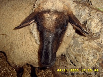 Close Up - The face of an adult sheep inside of a barn stall