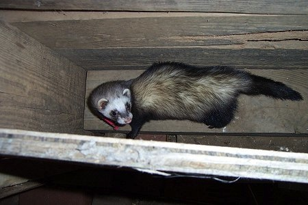 A ferret is standing in an empty wooden box attached to a wall in a barn