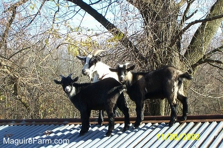 A white and black goat and two other goats are standing on a tin roof of an old stone spring house