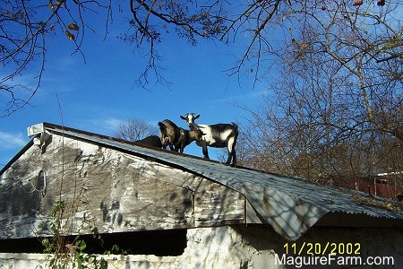 A white and black goat, a black goat, and a gray goat are standing on the tin roof of a springhouse