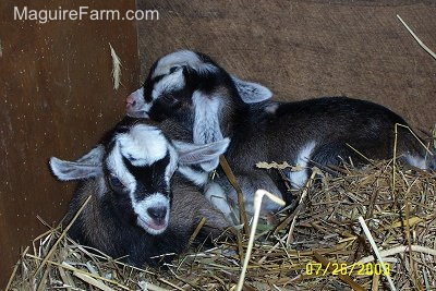 Two Brown with Black and White Billys are laying in the corner of a barn