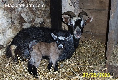 A black with white goat is laying in hay in a barn stall in front of a stone wall next to a brown with black and white kid goat.