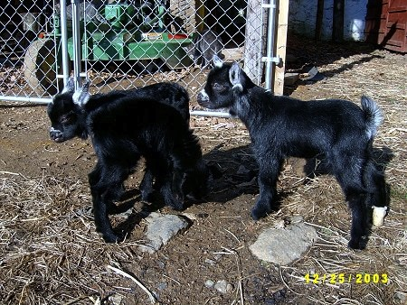 Three little black baby goats are standing next to a chainlink fence that has a John Deere mower behind it.