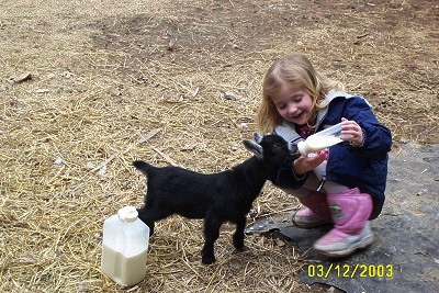 A 5-year-old blonde-haired girl in pink boots is feeding a bottle of milk to little black kid goat.