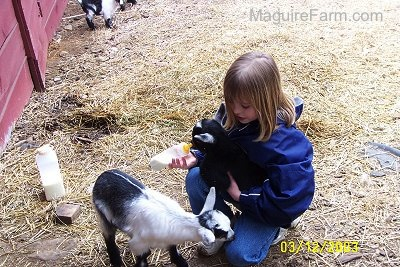 A 9-year-old blonde-haired girl in a blue jacket is kneeling down with a black goat in her lap feeding the kid goat a bottle of milk. There is a white and glack kid goat in front of her. They are outside in front of a red barn. There is a third baby goat in the distance.