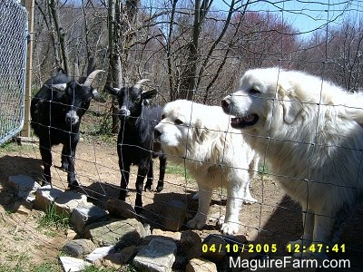 Two black goats with white ears are standing next to two white Great Pyrenees dogs. They are looking through a wire fence.