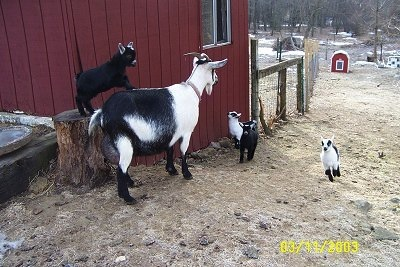 A black and white mother goat with her four kids. One black kid is standing on a tree stump with its back legs on the stump and its front legs on the mom's back. The other three are running up a small hill to the mother. They are all next to a red barn. There is a red dog ouse in the background.