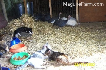 Four cats are laying in hay with cat food bowls around them. There are five guineas on the outside of the coop staying close to the coop door. There are more guineas still inside of the coop.
