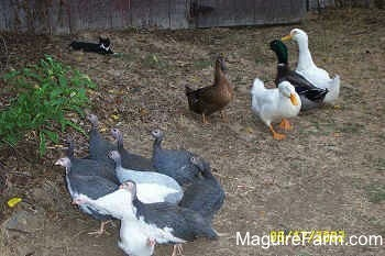 A flock of guineas are walking to the left outside and the flock of ducks are not moving. There is a black with white Cat in the background laying down next to the barn