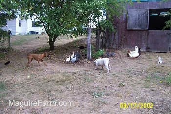 The guinea fowl are standing together under a tree. A fawn Boxer dog and white with brown bulldog are moving toward the birds. There is a flock of ducks standing near a barn. There is a grey and white cat sitting next to the ducks