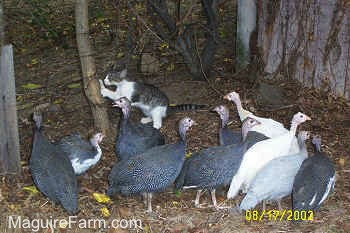 A grey and white cat is scratching a tree next to the flock of guinea fowl birds