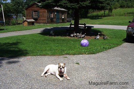 A white with brown brindle Bulldog is laying on a black top. There is a group of Guinea Fowl under a tree. There is a big Purple ball in a tree next to the Bulldog