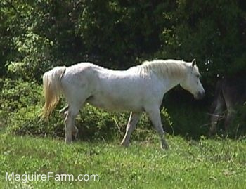 Close Up - A white Horse is in a field walking towards the trees