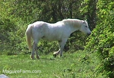 Close Up - A white Horse walking into the woods