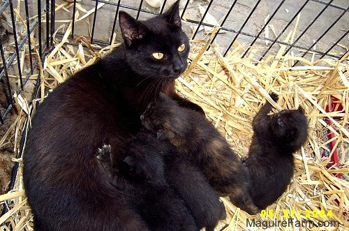 A black cat laying on top of hay inside of a dog crate nursing her litter of kittens. One kitten is playing with the hay. The rest are eating.