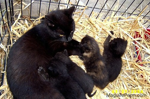 A black cat laying on top of hay inside of a dog crate nursing her litter of kittens. One kitten is playing with the hay and a second kitten is sitting next to the playing kitten. The rest are eating.