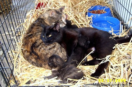 Two adult cats inside of a dog crate on top of hay snuggling up with a litter of kittens. The black cat is nursing one of the kittens. There are two blue plastic dishes behind them, one with water and one with food.