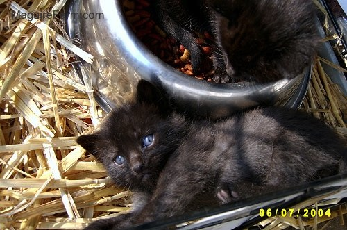 A little black kitten laying in hay next to a silver bowl full of food. There is another black kitten laying in the food.