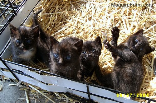 A litter of 4 black kittens on top of hay in a dog crate.