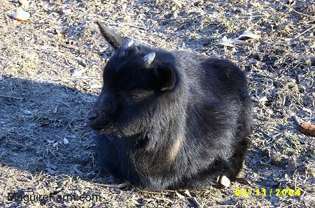 A black baby kid goat is laying outside in a field