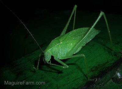 A green Katydid bug on a John Deere Tractor