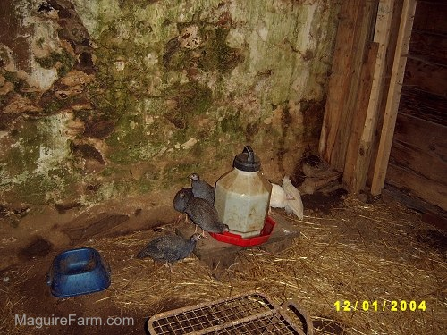 Five keets are standing around a water dispenser next to a blue food bowl inside of a barn stall. There is a stone wall behind them.