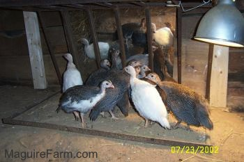 A pile of keets are standing in front of a mirror.