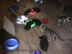 8 kittens on a wooden barn floor eating food from a green dish and a an orange dish with a red dish and an empty purple dish next to them.