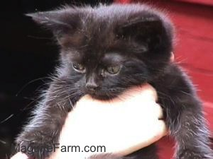 A little black kitten being held in the air by a person's hand with a red barn in the background.