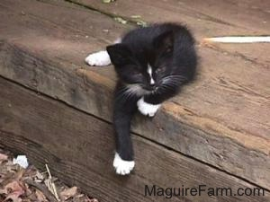 A little black with white kitten sitting on the edge of a step in a barn with one front paw hanging over the side.