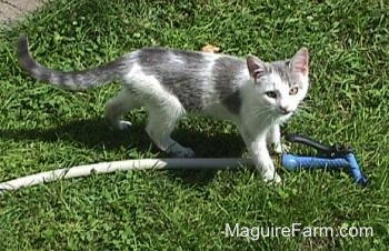 A gray and white kitten standing in the grass on top of a garden hose.