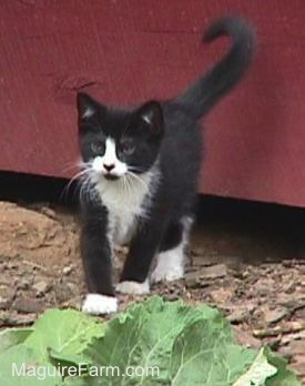 A black and white kitten standing in front of a red barn door