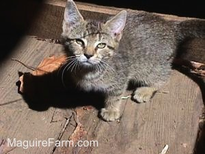 A tiger kitten standing on the wooden floor of a barn with the sun shining on it.