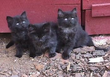 Three little long-haired black kittens sitting in a row in front of a red barn.