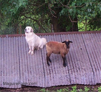 A sheep and a white Great Pyrenees dog are standing on a tin roof of an old spring house