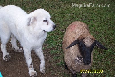 A Great Pyrenees dog is standing next to a sheep in a field