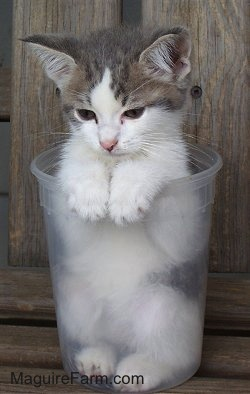 A tiny gray and white kitten inside of a clear quart-sized container.