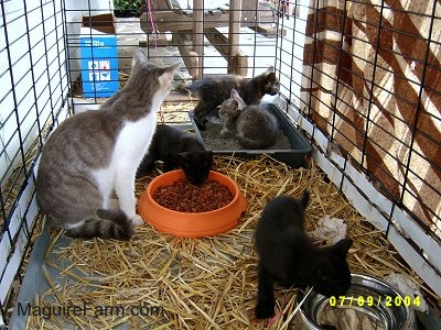 An adult gray and white cat inside of a dog crate lined with hay with a litter of kittens. There are food and water bowls and a litter box inside with them.