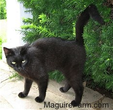 A black cat is standing in front of a green bush on a stone porch