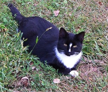 A black cat with a stripe of white on her nose, white on her chest wrapping around her neck and on her paws. She is laying in grass looking up at the camera.