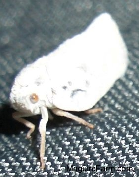 A white moth on a black trampoline
