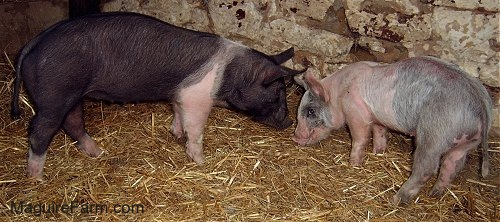 A black with pink pig is standing face to face with a gray and pink pig next to a stone wall inside of a barn.