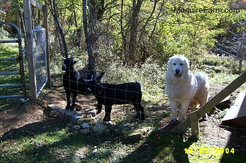Two black goats are standing behind a fence next to a white Great Pyrenees. The dog looks happy.