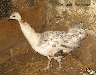 A white, tan with black peahen is standing in the corner of a barn. There is a ceramic green and white dish in the bottom right of the image.