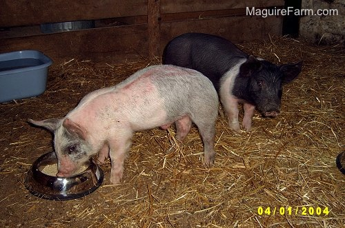 A pink and gray pig is eating from a food dish inside of a barn stall with a black and pink pig behind it. There is a blue basin of water off to the left.