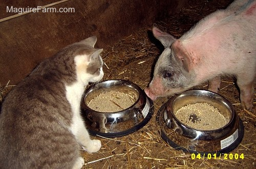 A grey and white cat is face to face with a gray and pink pig. There are two food bowls between them.